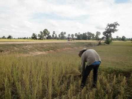 An experienced farmer cuts the rice