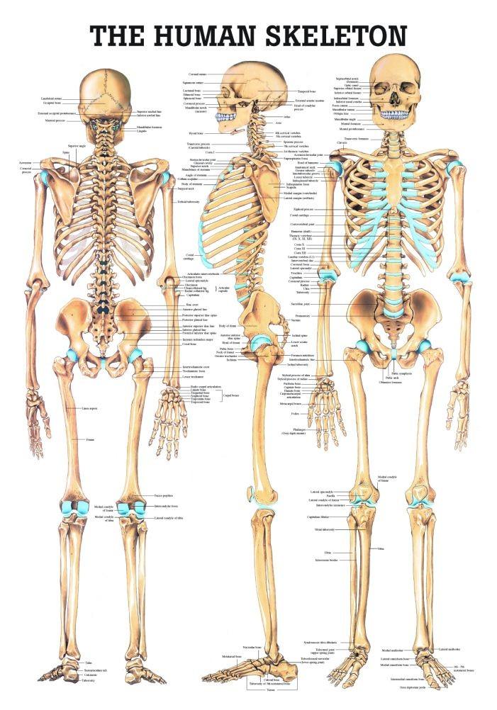the human skeleton anatomy