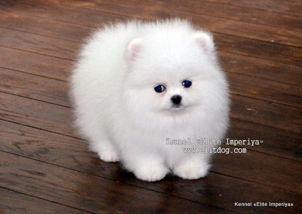 Pomeranian Puppies For Sale Photo