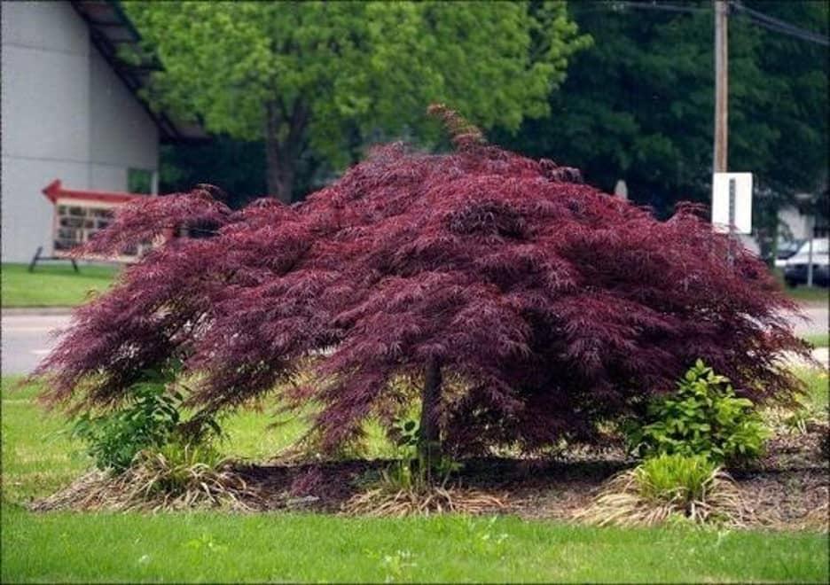 Japanese Maple bush