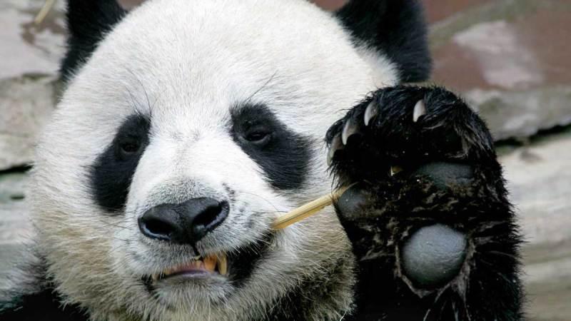 El zoológico tailandés resuelve el misterio de la muerte del famoso panda