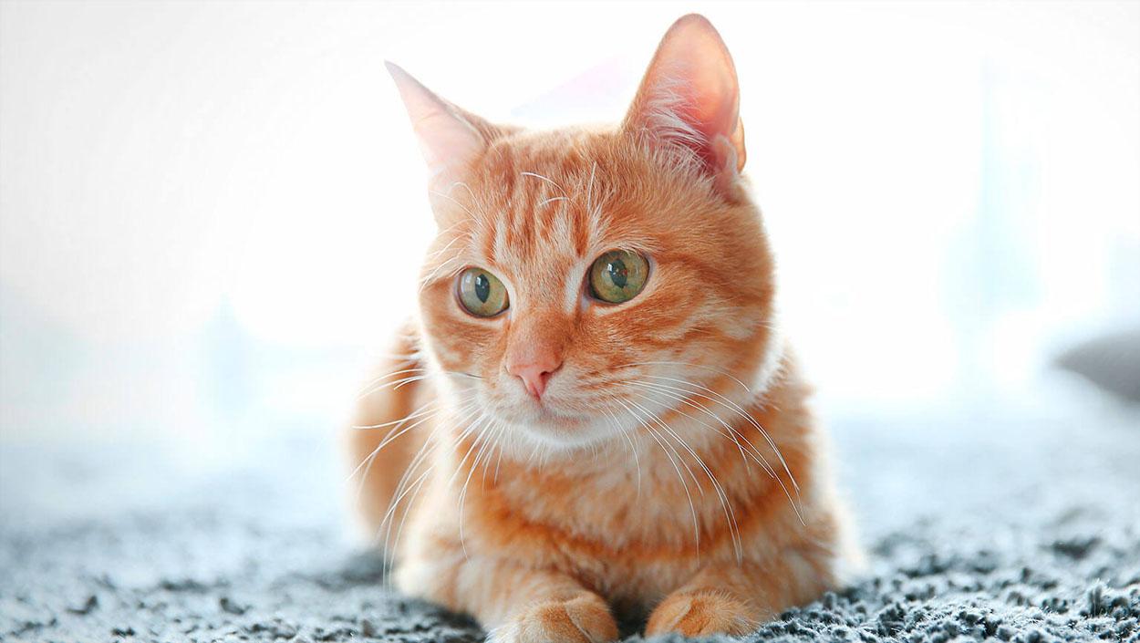 Un gato aprende a comunicarse con su dueña gracias a una app