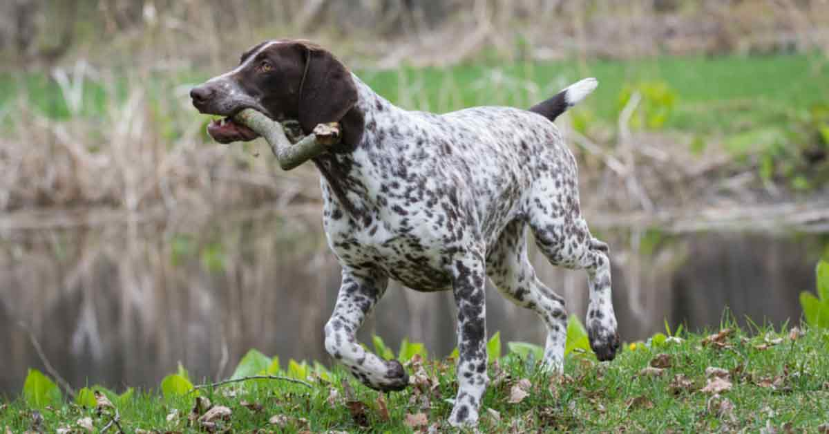 Best Duck Hunting Dogs German Shorthaired Pointer