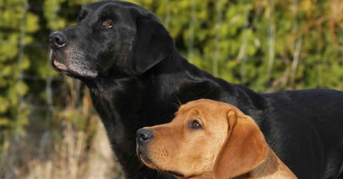 Best Duck Hunting Dogs Labrador Retriever