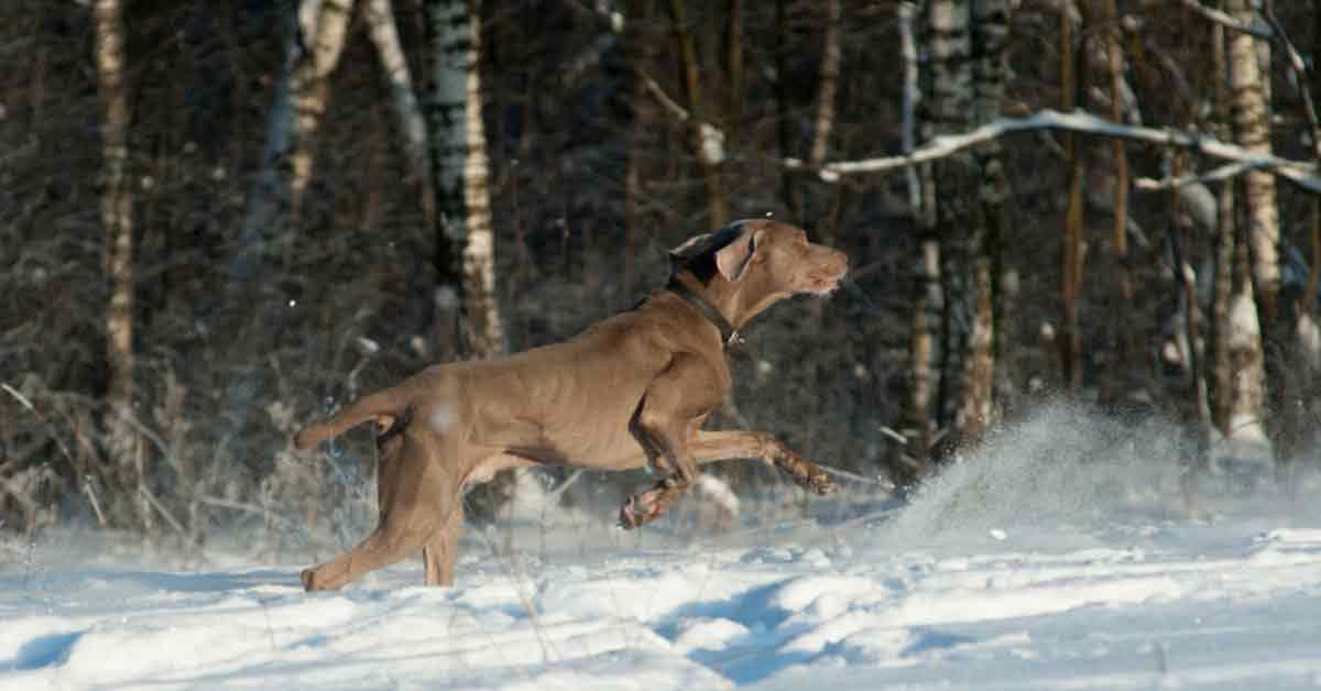 Best Duck Hunting Dogs Weimaraner
