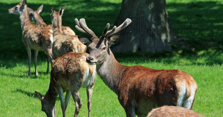 Food Levels can influence Antler Shedding