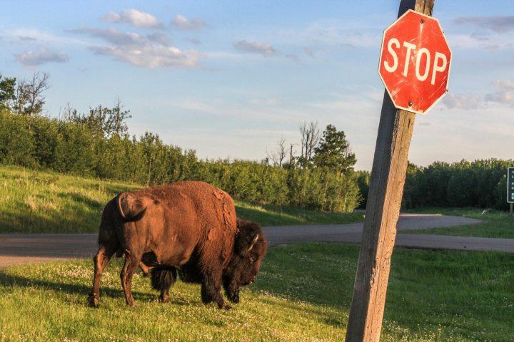 Bison Elk Island Park