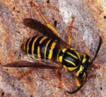 Christchurch Pest Control and Exterminators Elite Pest Control Wasps