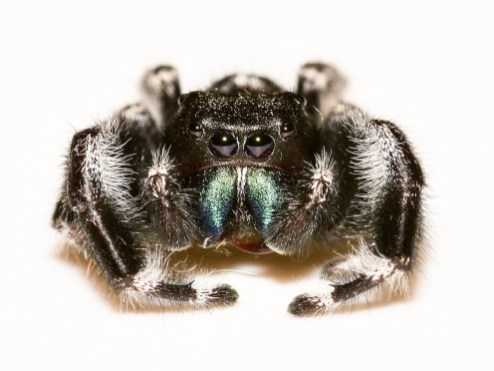 jumping-spider-head-on