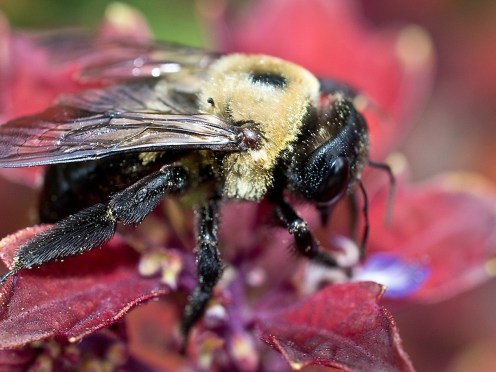 carpenter-bee-covered-in-pollen-ii