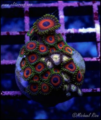 elite_reef_coral_DSC9433