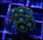 elite_reef_coral_DSC9441