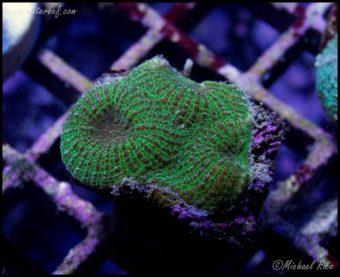 elite_reef_coral_frag_DSC9735
