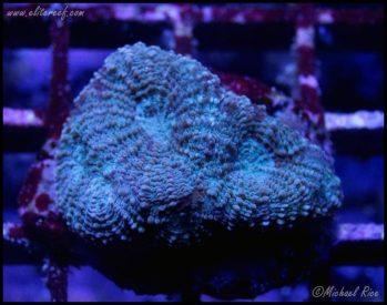 elite_reef_coral_frag_DSC9745
