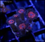 elite_reef_coral_DSC9832