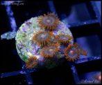 elite_reef_coral_DSC9834