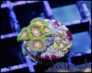 elite_reef_coral_DSC9842
