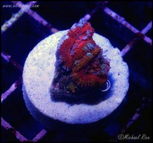 elite_reef_coral_DSC9912