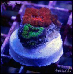 elite_reef_coral_DSC9928