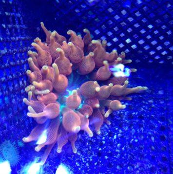 """Sunburst"" anemone"