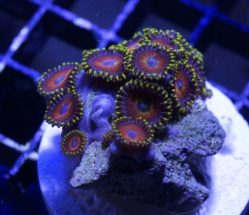 """Eagle Eye"" zoanthids"