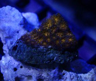 Gold leptastrea