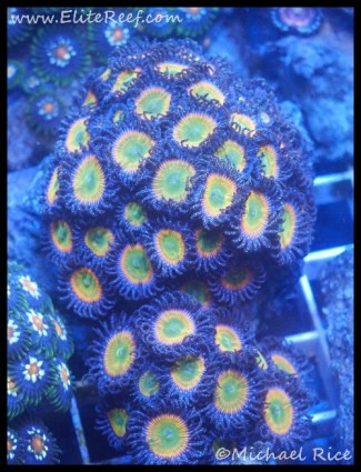 coral_denver_frag_dsc2409