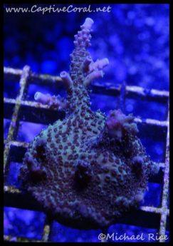 elite_reef_coral_dsc2786