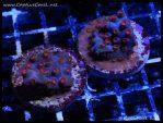elite_reef_coral_dsc2797
