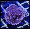 elite_reef_coral_dsc2821