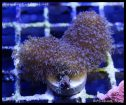 elite_reef_coral_dsc2822