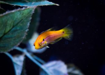 candy hogfish