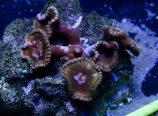 grande polyps
