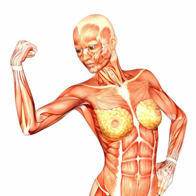 Human Anatomy - Female Body