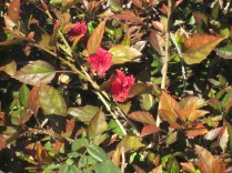 Red hibiscus and autumn-y foliage