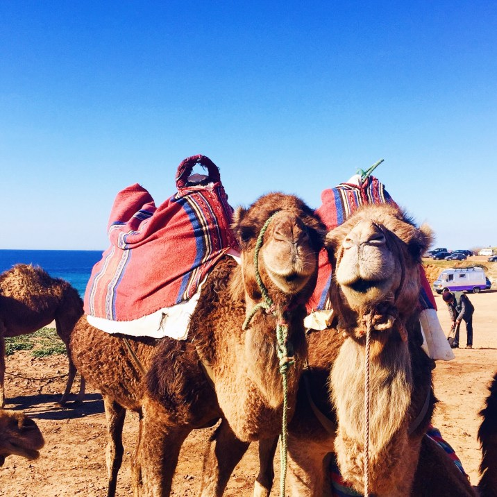 cute camels