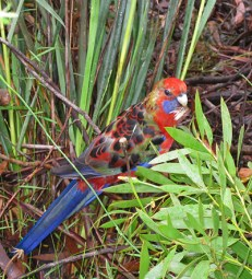 Rosella beside the path. (2009)