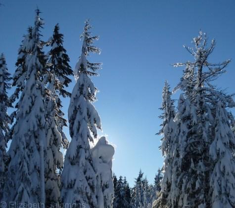 Cypress Snowy Trees 7