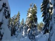 Cypress Snowy Trees 5