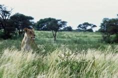 Lion # 4