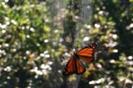buttefly-in-spiderweb