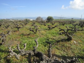 Bush planting of vines - a common sight in Cyprus