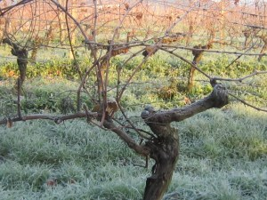 Jack Frost in the vineyards