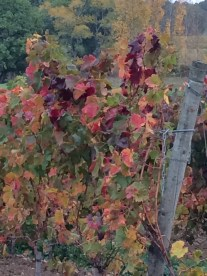 Autumn vine leaves, Saussignac