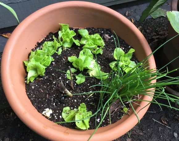 Growing lettuce and chives