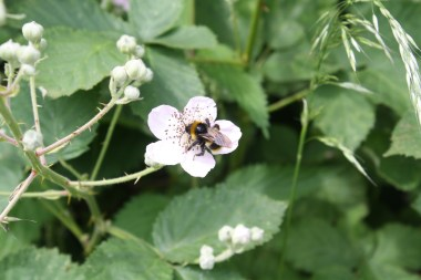 A bee on the brambles.