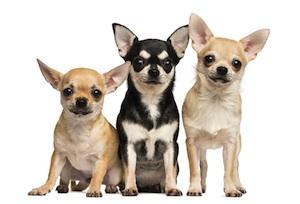 Chihuahuas-Loose-Land-Park