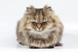 Angry-cat-ringworm