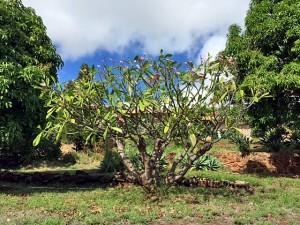 Flowering tree on Kamehameha Highway, Molokai