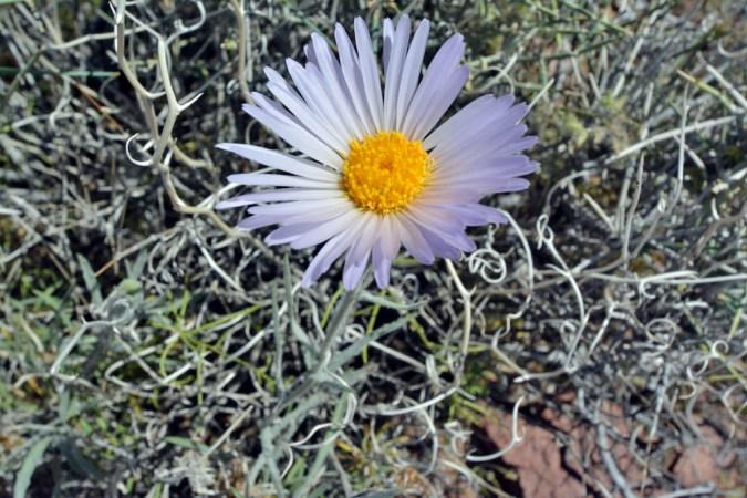 Daisy wildflower in Death Valley